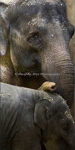 Asian Elephants Rose-Tu and her calf, Lily