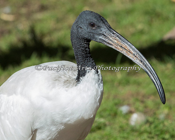 This Sacred Ibis can be found in the African Rainforest Aviary