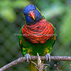 One of the many Rainbow Lorikeets at Lorikeet Landing