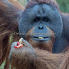 Snack time!  (Sumatran Orangutan)
