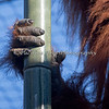 Hand of the Sumatran Orangutan