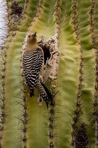 Gila or Cactus Woopecker in a Saguaro Cactus