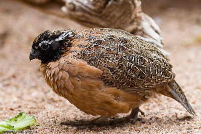 Some type of Quail...  I think.
