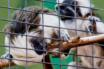Cotton-top Tamarin trying to figure out how to get the stick loose.