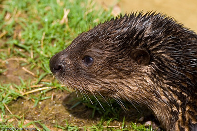 African Spot-Necked Otter