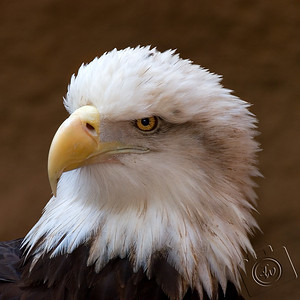 Bald Eagle at Santa Ana Zoo