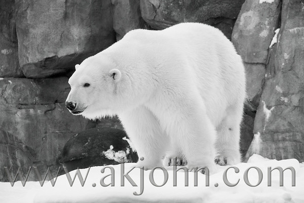 POLAR BEAR EXPANSION PRESS RELEASE