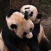 Giant panda Tai Shan (baby) and Mei Xiang (mother)  at the National Zoo, Washington, DC, January 25, 2007.