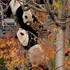 Giant Pandas Mei Xeing and Tian Tian, National Zoo, Washington, DC, November 12, 2007.