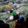 Giant Pandas Mei Xeing and Tian Tian lick honey from milk crates, National Zoo, Washington, DC, November 12, 2007.