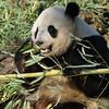 Giant Panda Tai Shan enjoys his breakfast, April 4, 2009.