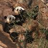 Giant panda Tai Shan (baby) and Mei Xiang (mother) at the National Zoo, Washington, DC, February 11, 2007.