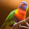 Gebirgslori/Rainbow Lorikeet