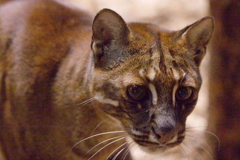 Asiatische Goldkatze (Temminck's Golden Cat): Kätzin (female): Vung Tau