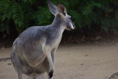 Kangaroo, or in Australia...a joey.