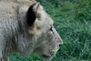 """African White Lion - <a href=""""http://www.philadelphiazoo.org/zoo/Meet-Our-Animals/Mammals/Carnivores/African-Lion.htm"""">http://www.philadelphiazoo.org/zoo/Meet-Our-Animals/Mammals/Carnivores/African-Lion.htm</a>"""