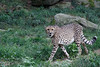 "Cheetah - <a href=""http://www.philadelphiazoo.org/zoo/Meet-Our-Animals/Mammals/Carnivores/Cheetah.htm"">http://www.philadelphiazoo.org/zoo/Meet-Our-Animals/Mammals/Carnivores/Cheetah.htm</a>"