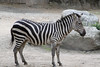 "Zebra - <a href=""http://www.philadelphiazoo.org/zoo/Meet-Our-Animals/Mammals/Hoofed/Plains-Zebra.htm"">http://www.philadelphiazoo.org/zoo/Meet-Our-Animals/Mammals/Hoofed/Plains-Zebra.htm</a>"