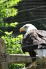 "Northern Bald Eagle:  <a href=""http://www.philadelphiazoo.org/zoo/Meet-Our-Animals/Birds/Birds-of-Prey/Bald-Eagle.htm"">http://www.philadelphiazoo.org/zoo/Meet-Our-Animals/Birds/Birds-of-Prey/Bald-Eagle.htm</a>"
