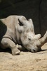 """<a href=""""http://www.philadelphiazoo.org/zoo/Meet-Our-Animals/Mammals/Hoofed/Southern-white-rhinoceros.htm"""">http://www.philadelphiazoo.org/zoo/Meet-Our-Animals/Mammals/Hoofed/Southern-white-rhinoceros.htm</a>"""