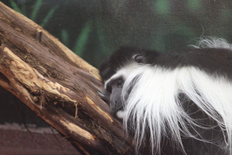 """<a href=""""http://www.philadelphiazoo.org/zoo/Meet-Our-Animals/Mammals/Primates/Black-and-White-Colobus.htm"""">http://www.philadelphiazoo.org/zoo/Meet-Our-Animals/Mammals/Primates/Black-and-White-Colobus.htm</a>"""