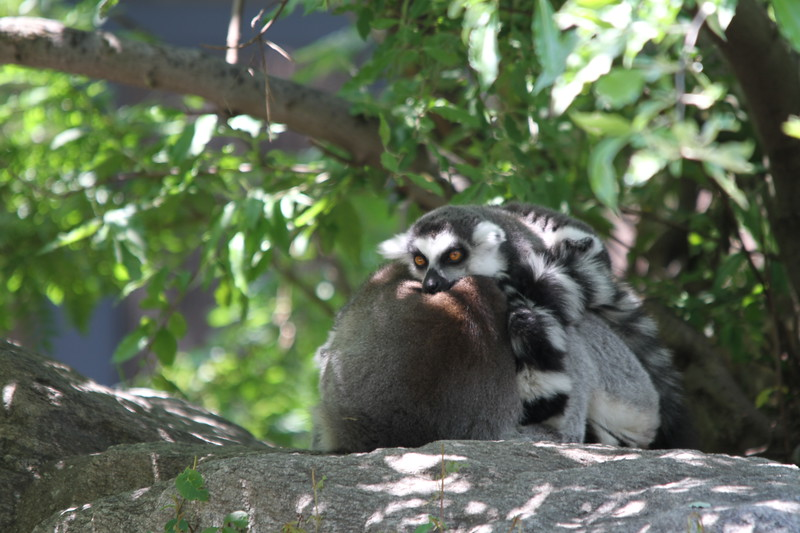 "<a href=""http://www.philadelphiazoo.org/zoo/Meet-Our-Animals/Mammals/Primates/Black-and-White-Ruffed-Lemur.htm"">http://www.philadelphiazoo.org/zoo/Meet-Our-Animals/Mammals/Primates/Black-and-White-Ruffed-Lemur.htm</a>"