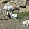 Arabian Oryx herd