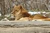 _DSC0021 African Lion