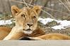 _DSC0041 African Lion