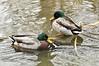 _DSC0018 Mallard Duck
