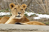 _DSC0031 African Lion