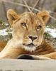 _DSC0042 African Lion