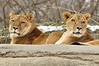 _DSC0035 African Lion