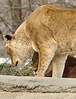 _DSC0043 African Lion