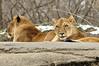 _DSC0029 African Lion