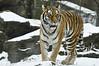 _DSC0015 Amur Tiger