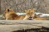 _DSC0027 African Lion