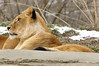 _DSC0040 African Lion