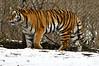 _DSC0001 Amur Tiger