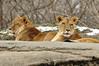 _DSC0030 African Lion