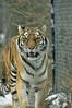 _DSC0012 Amur Tiger