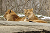 _DSC0025 African Lion