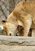 _DSC0045 African Lion