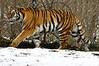 _DSC0002 Amur Tiger