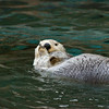 """A <a href=""""http://mshimogawa.bol.ucla.edu/otter.mp4"""">video</a> of this guy swimming around and scrubbing himself."""