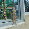 Meerkat...watching the world...