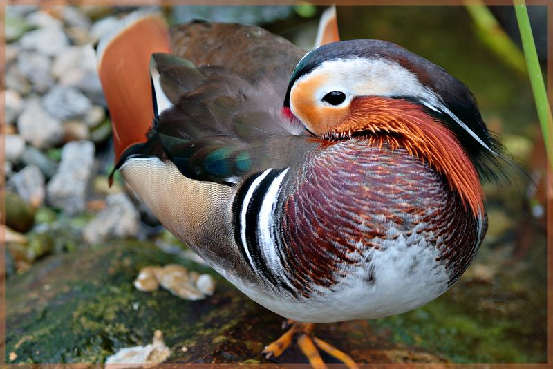 A colorful Mandarin Duck.