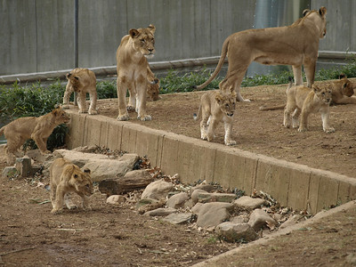 Seven cubs! Only two mommies. Outnumbered again!