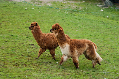 Alpakat Aron ja Micci - The alpacas Aron and Micci - Vicugna pacos Rehndal, Kirkkonummi, 2012