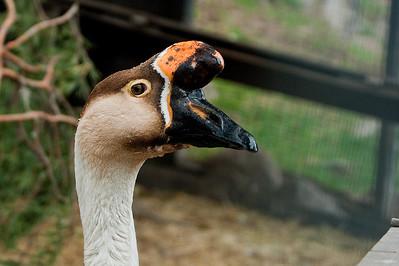 Kyhmyhanhi - Swan Goose - Anser cygnoides Rehndal, Kirkkonummi, 2012